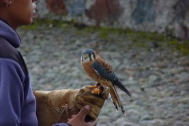 American Kestrel at Parque Condor bird rehab facility in Otavalo.