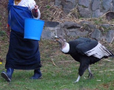 Condor feeding time at Parque Condor bird rehab facility in Otavalo.