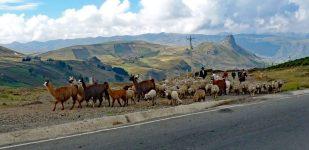 Quilotoa loop llama sheep and herders
