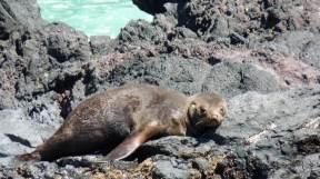 Akaroa New Zealand - Fur seal on rocky shore in Akaroa Harbour
