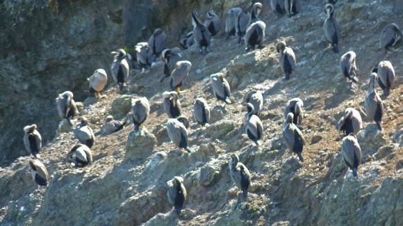 Akaroa New Zealand - Flock of Shags preening, on rocky shore