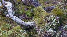 TranzAlpine Scenic Railway -Moss and Lichens in the woods near Arthur's Pass