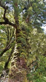 Karamea moss covered tree trunk