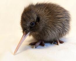 Rowi Kiwi chick West Coast Wildlife Centre Franz Josef