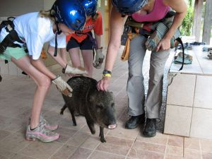 Costa Rica Peccary looking for attention from zipliners