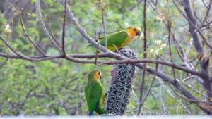 Curacao Brown-throated Parakeet