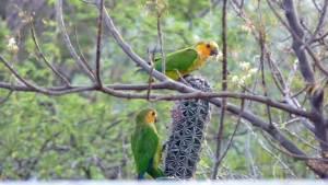 Curacao Brown-throated Parakeet