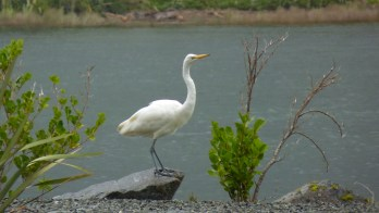 Egret on shore of Milford Sound