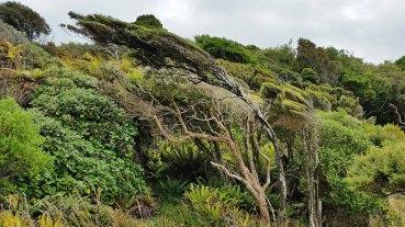stewart-island-windswept-trees