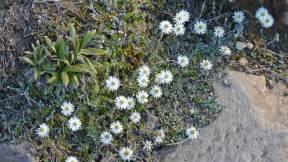 Tongariro Alpine Crossing flowers