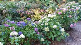 Hydrangeas at Wellington Botanical Gardens