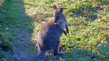 Small pademelon seen near the beach in Freycinet