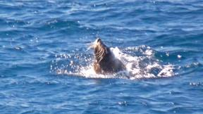 Fur seal in Freycinet waters, seen from Wineglass Bay Cruises