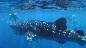 Exmouth Ningaloo Whale Shark
