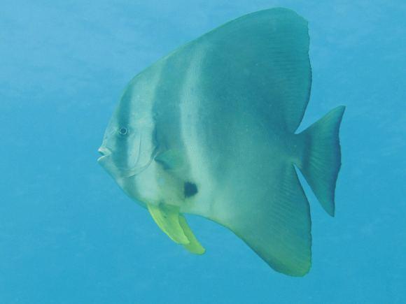 Muiron Ningaloo Reef batfish
