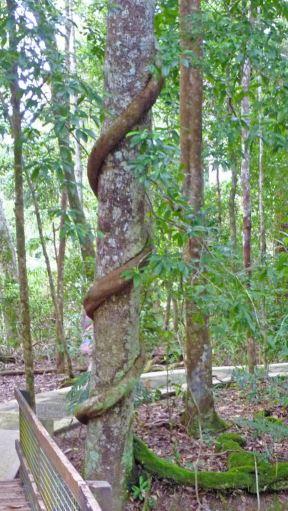 Daintree Vine tree