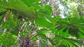 Fan Palm's large fronds capture more sunlight