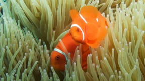 Ocellaris clownfish, image credit Sola Hayakawa