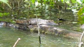 Small crocodile rests on log in the Daintree River