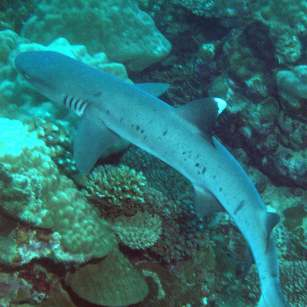 Whitetip shark on Vanuatu reef