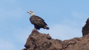 Bald Eagle juvenile on Lake Havasu