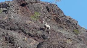 During our Lake Havasu Rubba Duck Safari tour, we spotted this Bighorn sheep on the mountaintop