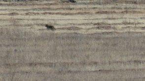 Wild coyote running from train