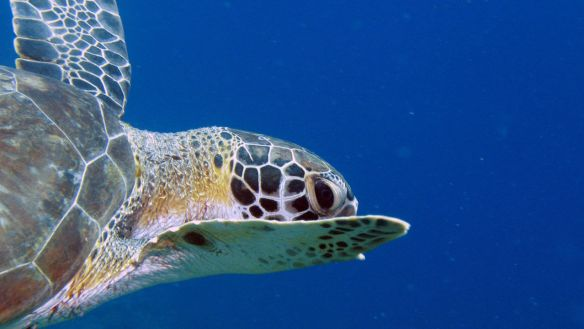 Turtle swimming by, at Curacao's Blue Bay resort