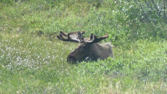 Bull Moose grazing in Denali National Park