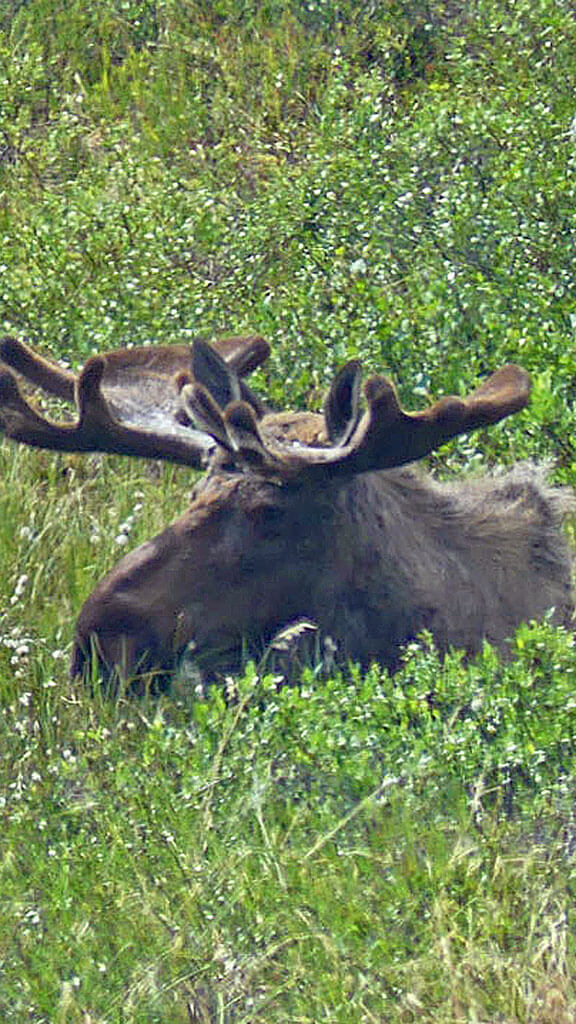 Bull moose grazing in Denali National Park