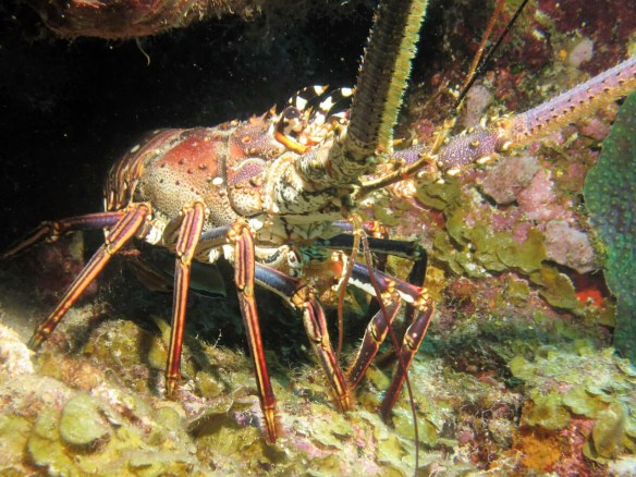 Curacao scuba diving - see spiny lobster