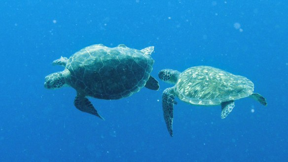 Best diving and snorkeling - Turtles swimming at Fisherman's Beach/Playa Grandi in Westpunt Curacao