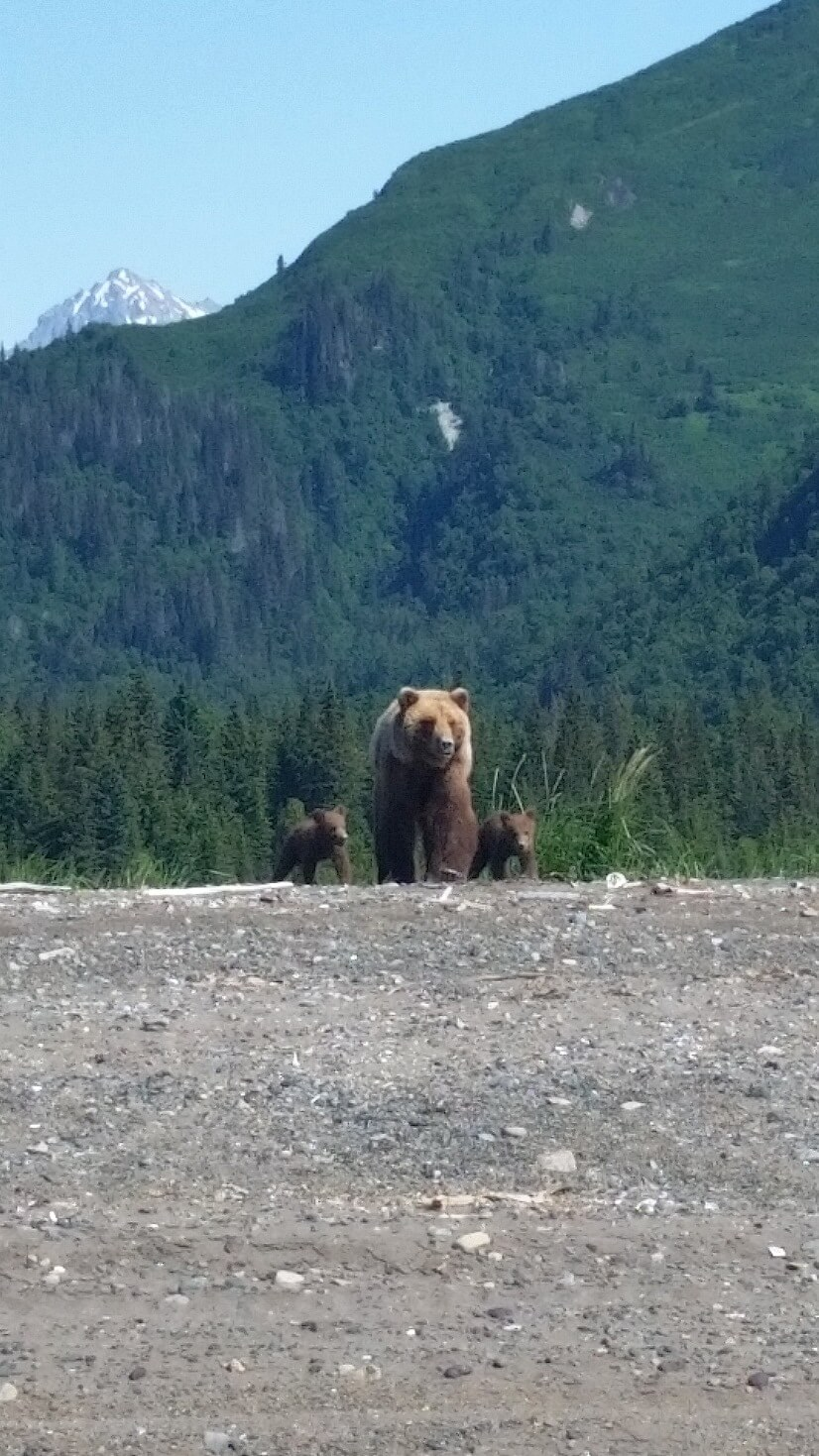 bearviewing-sow-and-two-cubs-