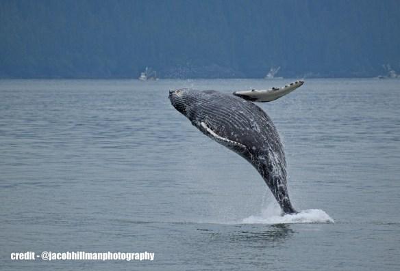 Juvenile humpback whale breeching