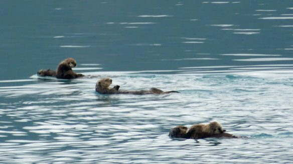 Sea otters rafting in Prince William Sound