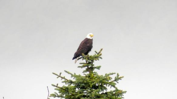 Bald eagle perched atop a pine tree on foggy day