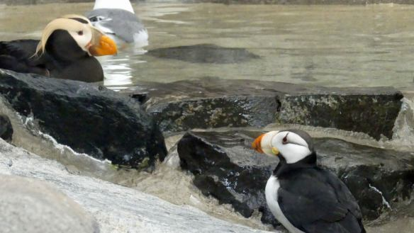 Two Puffins at the SeaLife Center in Seward Alaska