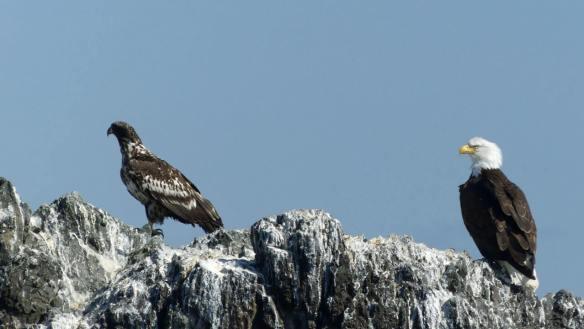 homers-kachemak-bay-bald-eagles-homer