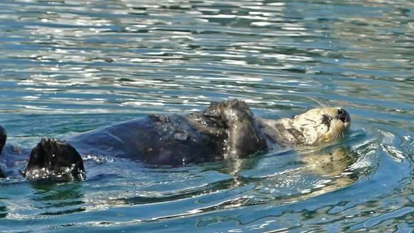 10-day-self-guided-alaska-kenai-peninsula-itinerary-Sea Otter seen near Selodovia, Alaska