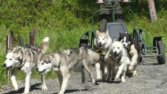 Plan Anchorage-Denali national park 7-Night Itinerary - Sled Dogs at Denali
