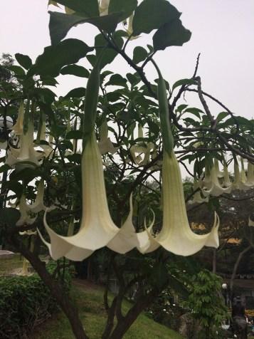 thrumpet flower