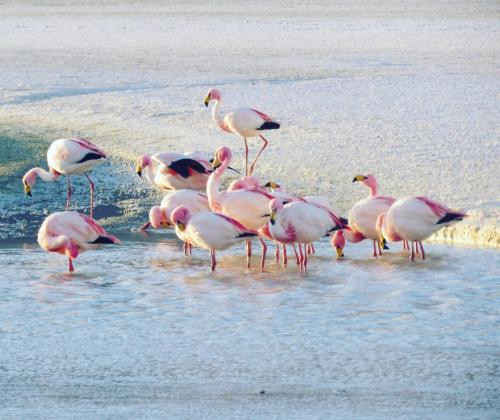 Flamengoes in Uyuni saltflats - Bolivia