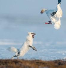 04-feisty-fox-drives-snow-goose-670