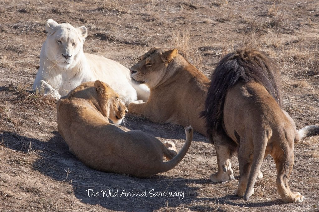 Orion and his Pride (Right to left - Malka, Xinna, and Gigi)