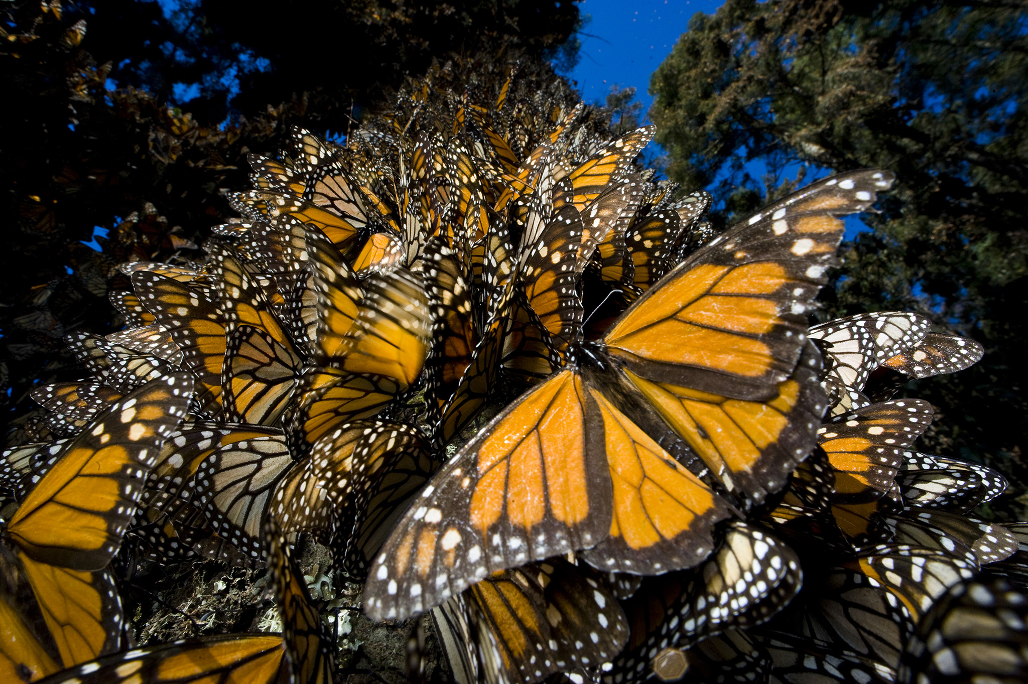 Understanding The Annual Monarch Butterfly Journey