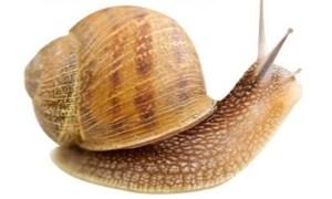 cryptomphalus aspersa snail
