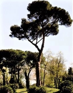 cypress tees in rome photo by suzanne lane