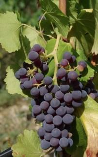 grenache grapes stock photo
