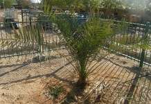 foto da Árvore bíblica simbolo da vitoria que brotou de semente de 2000 anos gera descendentes em Israel