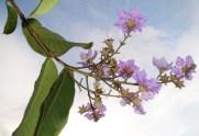 Banaba flower
